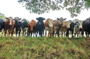 Curious cows 6819b
