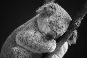 "There is no way in hell I'm Googling ""super lice,"" so please enjoy this picture of a sleepy koala."